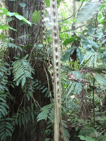 monkey-ladder-vine-n1-bolivia