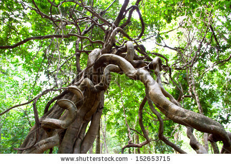stock-photo-monkey-ladder-lianas-bauhinia-sp-in-tropical-rainforest-thailand-152653715